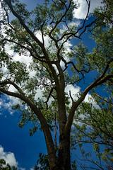Eukalyptus Tree (betadecay2000) Tags: plant flower tree green fleur bush outdoor top pflanze pflanzen australian feld australia beta palm palmtree end gras australien grn humilis landschaft bume palme baum busch australie bloem austral savanne livistona regenzeit