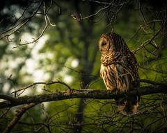 Barred Owl (jo fields) Tags: owl barred