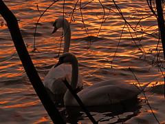 When the night comes... (Ostseeleuchte) Tags: sunset en spring swan sonnenuntergang sich machen abendlicht goldenwater goldeneswasser swancoupleinsunset april2016frhling