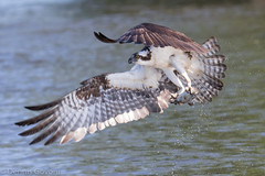 Osprey Holds on to Fish (dngovoni) Tags: bird virginia action wildlife raptor osprey jamesriver