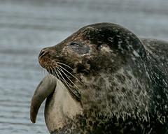 Ring_Seal_WEB-1 (idphotodoc) Tags: max beach norway wolf marlene svalbard seals debbie nsb artic polarbears longyearbyn