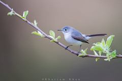Blues rock (Khurram Khan...) Tags: wild nikon wildlife nikkor migration songbirds naturephotography bluegraygnatcatcher migratingbirds wildlifephotography khurramkhan wwwkhurramkhanphotocom
