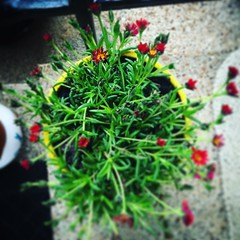 Mom keeps adding to the flower family on the patio. #springishere (kldwelch) Tags: family flower patio april 29 adding keeps springishere 2016 instagrammom 0140pm