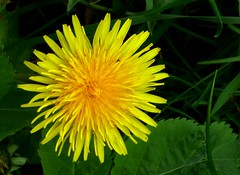 Lwenzahn (chrisheidenreich) Tags: flower yellow spring gelb blume frhling lwenzahn