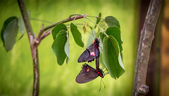 Mariposas (iSteven-ch) Tags: southamerica canon ecuador butterflies mariposas ec butterflygarden mindo pichincha eos6d