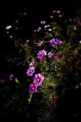 In Praise of Shadows: -8 Anemone hupehensis var. japonica   Contax CY 35/1.4 @ f2 (eefzed) Tags: flowers flower station japan zeiss bokeh depthoffield contax carl  japonica var cy kyushu  3514 distagon 2015  shimabara  distagon1435 inpraiseofshadows hupehensis   anemone  shimatetsuhonshamae contaxcy3514