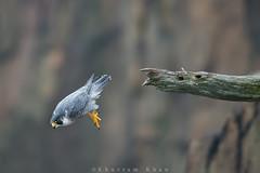 Leap of faith (Khurram Khan...) Tags: ilovenature nikon wildlife raptors birdsofprey naturephotography peregrinefalcon falcoperegrinus wildlifephotography ilovewildlife iamnikon khurramk