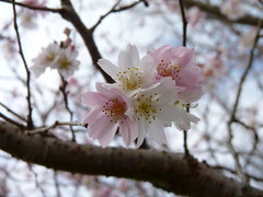 Cherry blossoms on New Year's Day (Dendroica cerulea) Tags: winter flower tree cherry newjersey nj fav20 cherryblossoms rutgersuniversity prunus rosales rosaceae helyarwoods fav10 middlesexcounty rutgersgardens