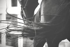 Swish (suzcphotography) Tags: life summer horse monochrome barn canon riding jumper hunter swish equestrian equine t3i