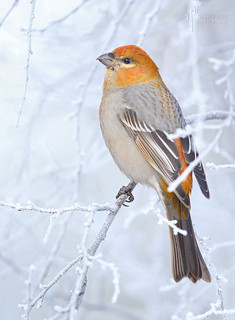 'Colour in the Frost' - Pine Grosbeak (Pinicola enucleator)