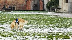 Felicit (Paolo Gabriele Maiero) Tags: winter dog white snow nature cane happiness natura neve inverno prato animali felicit orizzontale pianteefiori