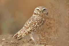Eye Contact (bmse) Tags: california canon southern owl salah 70200mm burrowing wingsinmotion 7d2 bmse baazizi
