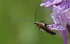 Oedemera femorata (7) (saracenovero) Tags: beetles coleoptera 2015 oedemeridae oedemerafemorata beetlesoflithuania