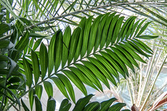parlor palm (otgpics) Tags: costa green nature leaves lines triangles dark pattern bright background conservatory structure diagonal greenhouse dome tropical veins organic rib marjorie mid mcneely regular repeating leaflets rachis pinnate