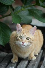 Green Eyes (artiacoilaria) Tags: cats animals cat eyes greeneyes occhi gatto animali