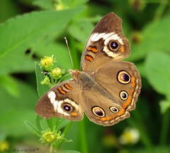 Common Buckeye (Gary Helm) Tags: usa eye nature animal dinner canon butterfly bug insect outside island fly us wings pattern bright image florida outdoor wildlife powershot depthoffield management photograph area flitter organicpattern hendrycounty photoborder dinnerisland dinnerislandwildlifemanagementarea sx60hs ghelm4747 garyhelm