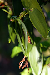 Vanille (stef974run) Tags: belair tropical flamboyant phare cocotier vanille bommert sucrier canneàsucre hazier gousse vanilleraie