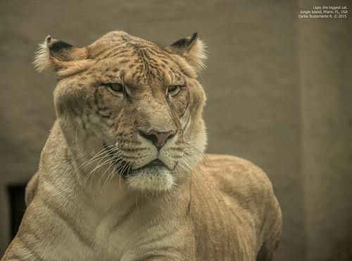 Liger, the biggest cat