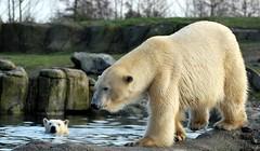 IJsbeer / Polar bear (vanderven.patrick) Tags: bear nature zoo blijdorp nikon wildlife natuur polar nikkor ijsbeer dierentuin 70300 d60