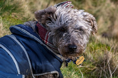 "DSC_0045 - ""It's cold for little dogs... (SWJuk) Tags: uk winter england cold home dogs animal scarf george nikon unitedkingdom britain outdoor coat windy lancashire terrier gb moors crownpoint moorland lightroom burnley 2016 terriermix 18300mm d7100 rawnef swjuk nikond7100 littledoglaughedstories jan2016"
