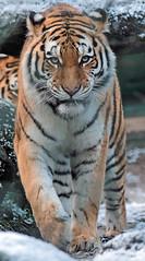amurtiger  amersfoort JN6A2609 (j.a.kok) Tags: tiger tijger amersfoort amurtiger amoertijger pantehratigrisaltaica