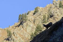 Camoscio (mirco_angeli) Tags: shadow mountain mountains nature animals shadows ombra natura ombre montagna silhoutte animali chamois camoscio