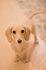 IMG_1932 (yukichinoko) Tags: dog dachshund 犬 kinako ダックスフント ダックスフンド きなこ