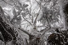 Frozen Cedar [take 2] (jrseikaly) Tags: winter white snow tree up jack photography frozen looking cedar arz cedars seikaly jrseikaly