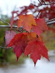 Red Maple (Dendroica cerulea) Tags: autumn ny newyork tree leaves creek leaf maple stream foliage acer redmaple windham greenecounty acerrubrum catskillmountains sapindaceae sapindales hippocastanoideae windhampath
