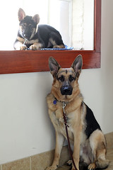 Passing the Baton (PauerKorde Photo) Tags: dog puppy canine servicedog germanshepherd gsd guidingeyes guidingeyesfortheblind