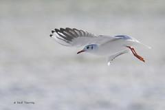 mouette rieuse (Larus ridibundus) en vol (Dantou007) Tags: france hiver vol mouette coursdeau maubeuge largeur erquelinnes