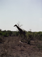Stray Giraffe (chillbay) Tags: africa southafrica giraffe krugernationalpark kruger tandatula krugerafrica