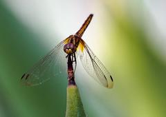 Singapore Dragonfly (Saaliahc) Tags: macro insect singapore dragonfly insects makro libelle singapur insekten omdm5