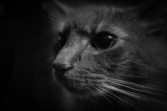 Hanging Out With Dale (lucasfotodotcom) Tags: cat dale graycat greycat longhairgraycat