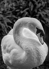 Classic Elegance (world recorder) Tags: sanfrancisco portrait bw white black bird classic nature swan wildlife palace palaceoffinearts muteswan