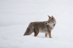 Coyote In The Snow (StephenMcGill_UK) Tags: