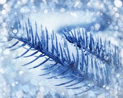 Winter is pretty isn't it? (CCphotoworks) Tags: winter snow snowflakes branch spruce snowcovered bluespruce spruceneedles