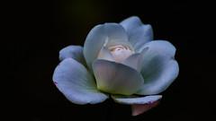 "Petals of Peace! - ""Explored"" (chandra.nitin) Tags: flowers roses india white flower nature rose delhi newdelhi deerpark"