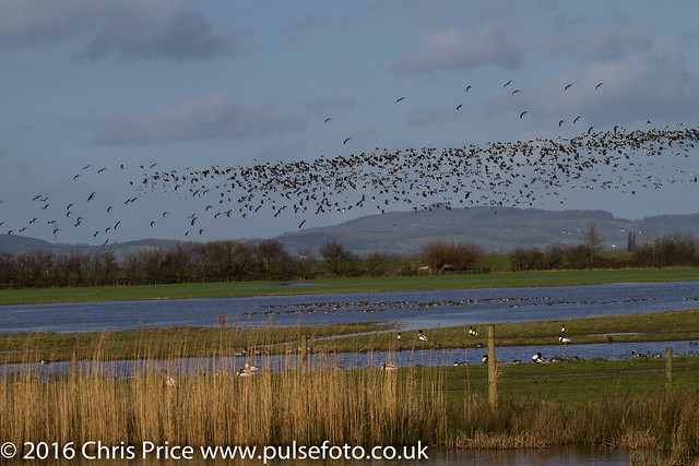 Lapwings in flight at WWT Slimbridge