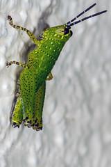Built-in Sunvisors - _TNY_7615 (Calle Sderberg) Tags: macro green canon insect flash spots grasshopper humilis nymph ringflash acrididae dcr250 raynox grshoppa canonef100mmf28usmmacro xenocatantops yongnuo canon5dmkii yn14ex catantopinae