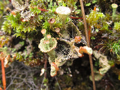 Pixie cup lichen (chaerea) Tags: canada nature forest woodland bc fungi lichen mycology cladonia