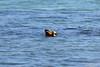 Ruddy Shelduck (_DSF6196) (Param-Roving-Photog) Tags: bird water river duck wildlife migratory wwf wetland ramsar ruddyshelduck wintering sutlej ropar