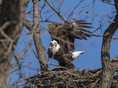 BALD EAGLES EAT CHICKEN 10 OF 13 (nsxbirder) Tags: chicken baldeagle indiana haliaeetusleucocephalus brookville whitewaterriver franklincounty leveeroad