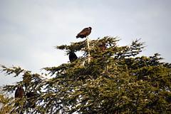 DSC_0007 (Hopelessly Un-Romantic) Tags: city bird nature turkey backyard wake neighborhood kettle vulture venue committee volt turkeyvulture