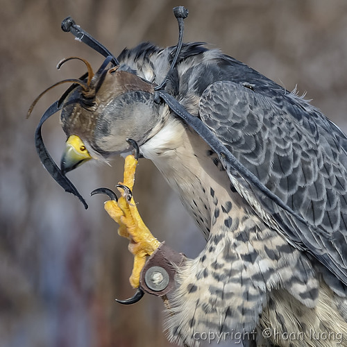 Peregrine Falcon (Faucon pèlerin)