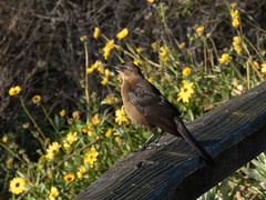 Great-tailed Grackle (female) (forwardbirds) Tags: female ballonafreshwatermarsh greattailedgracklequiscalusmexicanus gtgr