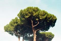 terme di caracalla, july 2014 (Tefilo de Sales) Tags: italy rome roma tree film public pine museum analog 35mm 50mm nikon italia kodak bricks baths museo expired nikkormat terme analogic kodak200 caracalla termedicaracalla nikkormatel