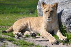 Cocky Safaripark Beekse Bergen 13-05-2015 (Yvonne de Boer) Tags: cocky bergen safaripark leeuwin leeuw beekse afrikaanse