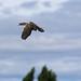 Aplomado falcon (Falco femoralis) flying 3 (abatement falconry bird)