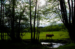 DSC_3148 (adrizufe) Tags: trees naturaleza verde green nature ilovenature cow nikon arboles shadows ngc ng sombras basquecountry vaca abadio urkiola nikonstunninggallery aplusphoto d7000 adrizufe adrianzubia